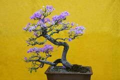 Mix-color Bougainvillea Spectabilis tree, Bonsai Exhibition Pune Shivajinagar, Pune, Maharashtra stock photography