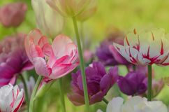 Mix color tulip flower. Mix of tulips flowers in garden. Mix of spring tulips flowers. Mixed color tulips in garden. Landscape with  tulip field. Fresh growing stock photography