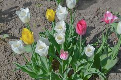 Mix color tulip flower. Mix of tulips flowers in garden. Mix of spring tulips flowers. Mixed color tulips in garden. Landscape with tulip field. Multicolored stock photography