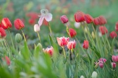 Mix color tulip flower. Mix of tulips flowers in garden. Mix of spring tulips flowers. Mixed color tulips in garden. Landscape with tulip field. Multicolored stock photo