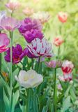 Mix color tulip flower. Mix of tulips flowers in garden. Mix of spring tulips flowers. Mixed color tulips in garden. Landscape with tulip field. Multicolored stock image