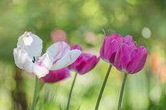 Mix color tulip flower. Mix of tulips flowers in garden. Mix of spring tulips flowers. Mixed color tulips in garden. Landscape with  tulip field. Multicolored royalty free stock photos