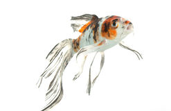 Mix-colored Butterfly Koi Stock Photo