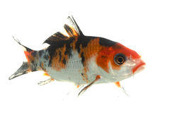 Mix-colored Koi Stock Photography