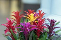 Mix of colorful bright Guzmania, fine representative of the bromeliad or pineapple family, leader in design of interiors. Mix of colorful bright Guzmania, fine royalty free stock image