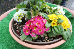 Mix Colorful flower in flowerpot is bloom. Mix Colorful flower in flowerpot is bloom at Japan garden royalty free stock photo