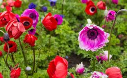 MIx Colorful Poppies Stock Image