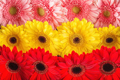 Mix colour of daisies or gerberas, flower background photography Stock Images