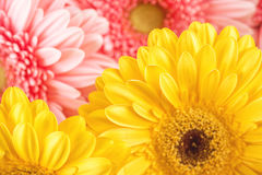 Mix colour of daisies or gerberas, flower background photography Royalty Free Stock Images