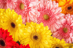 Mix colour of daisies or gerberas, flower background photography.  royalty free stock image