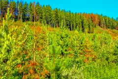 Mix of colourful trees in a forest. Red and green, Waiprous county, Alberta, Canada Royalty Free Stock Photos