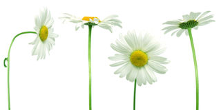 Mix of daisies. Mix of 4 daisies over clear white background royalty free stock photo