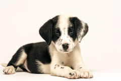 Mix dalmatian puppy Royalty Free Stock Images