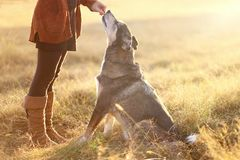 Mix Dog Sitting för tysk herde goda och fåfest från ägare fotografering för bildbyråer