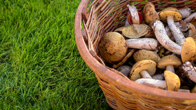 Mix of edible forest mushrooms in a basket Stock Photo