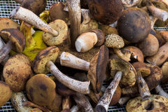 Mix of edible forest mushrooms Royalty Free Stock Photos