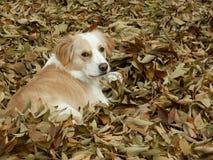 mix för leaves för kantcollie Arkivfoton