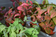 Mix of fittonia plants Royalty Free Stock Image