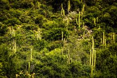 Hill in fertile valley of flora, vegetation in different shades of green. Mix of flora and different forms of cactus. Mountain that in its extension has stock images