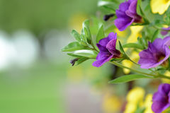 Mix flower petunia wallpaper. Mix of petunia flowers in the garden on blurred background.. Mix flower petunia wallpaper. Mix of petunia flowers in the garden on stock photography