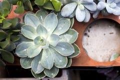 The Mix of Flowering Echeveria, Sedum Succulent House Plants Arrangement pot Background royalty free stock images