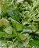 Mix of fresh organic green and red lettuce leaves. Healthy salad vegetables Stock Photos