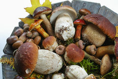 Mix of fresh wild  mushrooms (boletus edulis) on wooden plate an Royalty Free Stock Photography