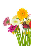 Mix of gerber flowers. Isolated on white background Royalty Free Stock Photo