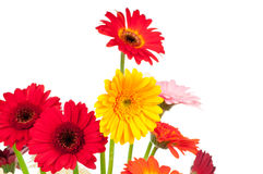 Mix of gerber flowers. Isolated on white background Stock Image