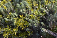 Mix of green plants and shrubs. Green plants and shrubs on rockery royalty free stock image