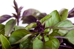 Mix of green and purple basil Royalty Free Stock Photography