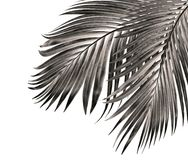 Leaf of palm tree isolated on white background Stock Photography