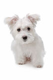 Mix Maltese dog. In front of a white background Stock Photos