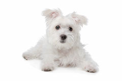 Mix Maltese dog. In front of a white background Royalty Free Stock Images