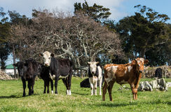 Mix New Zealand Young Cattle Stock Photo