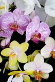 Mix Orchids. Closeup of four different colorful orchids on a black background. Bio- Diversity Stock Image