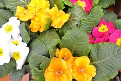 Beautiful mix of primula vernus, colorful primula background. Springtime holiday. Easter background. Mix of primula vernus, colorful primula background royalty free stock photography