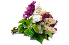 Mix of purple and white common lilac (syringa) bouquet isolated Royalty Free Stock Photography