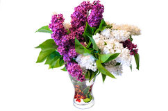 Mix of purple and white common lilac (syringa) in vase isolated Royalty Free Stock Image