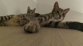 Mix of 2 shots of the resting cats. 2 shots of two resting cats stock footage