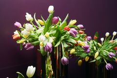 Mix of spring multi colored tulips flowers on violet background. Dutch tulip bouquet close-up Stock Photography