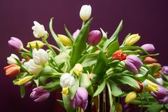 Mix of spring multi colored tulips flowers on violet background. Dutch tulip bouquet close-up Stock Photos