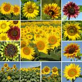 Mix of sunflowers Stock Photography