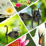 Mix swans and lotus flowers closeup stock photos