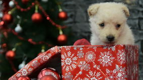 Mix of tree scenes,  white puppy in holiday spirit surrounded by New Year`s decoration stock video