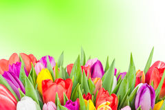 Mix of tulips Stock Photography