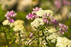 Mix of wild mountain flowers on a sunny day, Zlot mountain Stock Photography