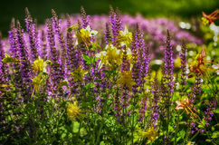 Mix of Yellow and Purple HDR. Yellow Columbine flowers mixed in with purple Lavender flowers Stock Photo