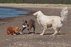 Mixdog, o buldogue e os perdigueiros dourados jogam na praia imagens de stock