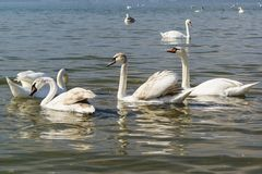 Mixed-age flock of swans mute lat. Cygnus olor is a bird of the duck family - wintering in the Black sea. Near Anapa stock photo